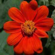 Tithonia rotundifolia Torch - 10 grams - Bulk Discounts available